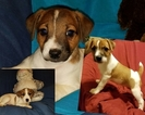 Jack Russell Terrier Puppy For Sale in VENUS, TX, USA