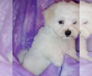 Maltichon Puppy for Sale in WINSTON SALEM, North Carolina USA