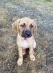 Black Mouth Cur Puppy For Sale in GRAHAM, WA