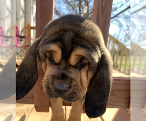 Bloodhound Puppy for sale in GRANDVIEW, TX, USA