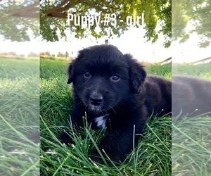 Australian Shepherd Puppy for Sale in EMMETT, Idaho USA