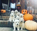 Golden Retriever Puppy For Sale in HIGDON, AL