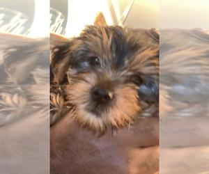 Yorkshire Terrier Puppy for sale in AVENTURA, FL, USA