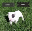 American Pit Bull Terrier Puppy For Sale in WILLSBORO, NY,