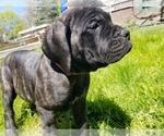 Puppy 10 Mastiff