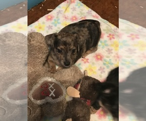 Chiweenie Puppy for sale in CARTHAGE, TX, USA