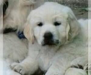 English Cream Golden Retriever Puppy for Sale in FOWLERVILLE, Michigan USA