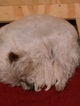 West Highland White Terrier Puppy For Sale in MULVANE, KS,