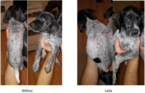 2 German Shorthaired Pointer Puppies