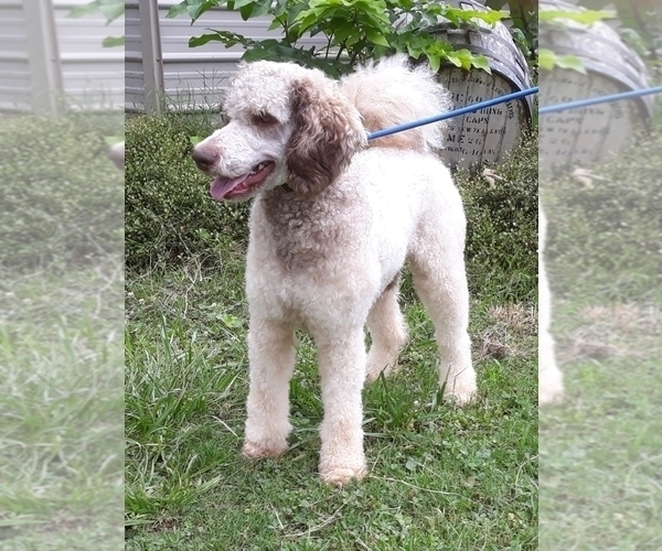 Medium Photo #1 Poodle (Standard) Puppy For Sale in COVINGTON, GA, USA