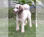 Small Photo #1 Poodle (Standard) Puppy For Sale in COVINGTON, GA, USA