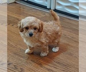 Havanese Puppy for sale in VILLA PARK, IL, USA