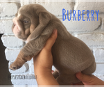 Puppy 9 Bulldog