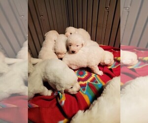 Great Pyrenees Puppy for sale in FERNDALE, WA, USA