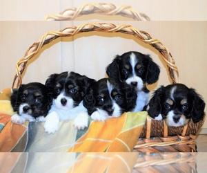 Cava-lon Puppy for sale in CHINO VALLEY, AZ, USA