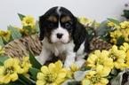 Cavalier King Charles Spaniel Puppy For Sale in FARMINGTON, MO, USA