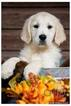 English Cream Golden Retriever  Puppy For Sale in JEFFERSON, GA, USA