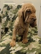 Puppy 7 Bloodhound
