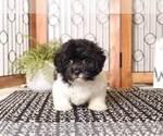 Small #3 Shih-Poo