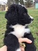Bernedoodle Puppies