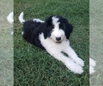 Puppy 8 Aussiedoodle