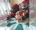 Puppy 3 Cavapoo-Poodle (Miniature) Mix
