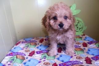 Cockalier Puppy For Sale in PATERSON, NJ, USA