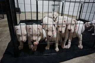 Dogo Argentino Puppy For Sale in CLEWISTON, FL
