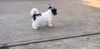 Biewer Terrier Puppy For Sale in WINDER, GA