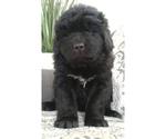 Puppy 1 Newfoundland
