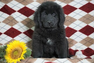 Newfoundland Puppy for sale in FREDERICKSBG, OH, USA