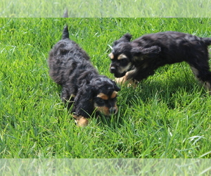Cocker Spaniel Puppy for sale in BIG BEND, CO, USA