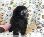 Small #5 Poodle (Toy)