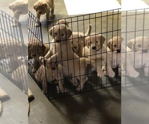 Golden Retriever-Goldendoodle Mix Puppy for Sale in BEMIDJI, Minnesota USA