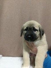 Anatolian Shepherd Puppy For Sale in ASHEVILLE, NC, USA