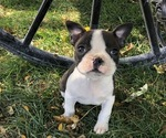 Puppy 2 Boston Terrier