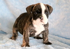 Bulldog Puppy For Sale in MOUNT JOY, PA,