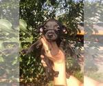 Small #20 Xoloitzcuintli (Mexican Hairless)