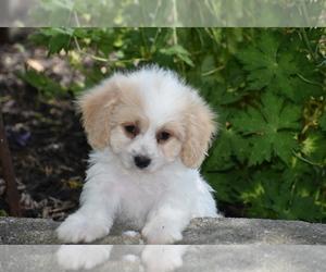 Cavachon Puppy for sale in ELDORADO, OH, USA