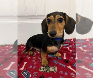 Dachshund Puppy for sale in GUYTON, GA, USA