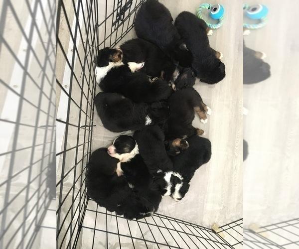Medium Photo #11 Australian Shepherd Puppy For Sale in HAMPTON, VA, USA