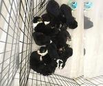 Small Photo #11 Australian Shepherd Puppy For Sale in HAMPTON, VA, USA