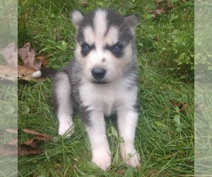 Siberian Husky Puppy for sale in WORTHINGTON, PA, USA