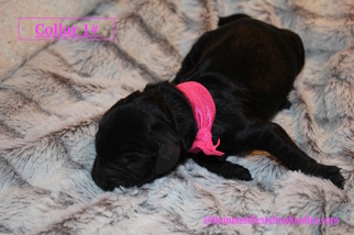 Australian Labradoodle Puppy For Sale in WACO, TX, USA