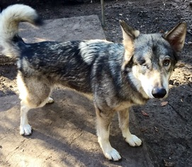 Sookie - German Shepherd Dog / Siberian Husky / Mixed Dog For Adoption