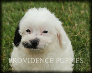 View Ad: Poovanese Puppy for Sale near Iowa, WAYLAND, USA