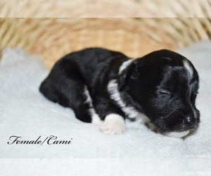 Miniature Australian Shepherd-Poodle (Toy) Mix Puppy for sale in SHELBYVILLE, TN, USA