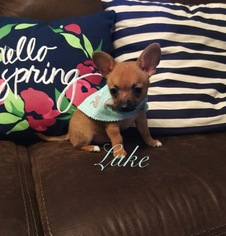 Chihuahua Puppy for sale in LONDON, KY, USA