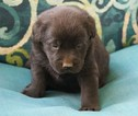 Labrador Retriever Puppy For Sale in MILLTOWN, IN, USA