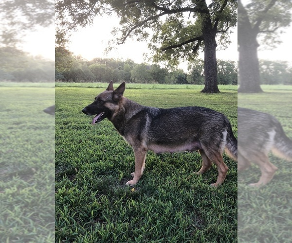 Medium Photo #1 German Shepherd Dog Puppy For Sale in GARLAND, KS, USA